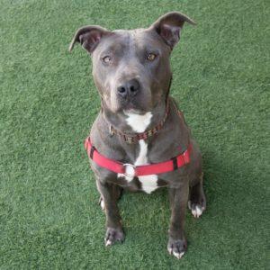 Companion Dog Level 1 @ Peninsula Humane Society & SPCA | San Mateo | California | United States