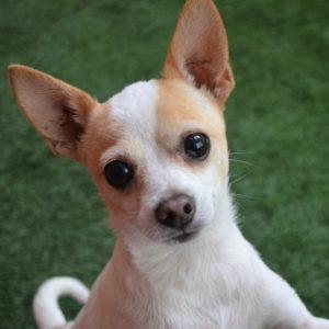 Companion Dog Level 1 for Small Dogs @ Peninsula Humane Society & SPCA | Burlingame | California | United States