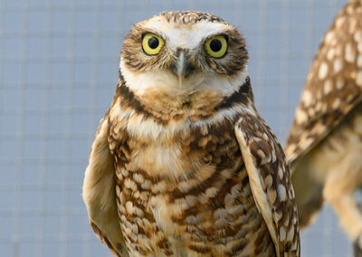 Burrowing Owl-16