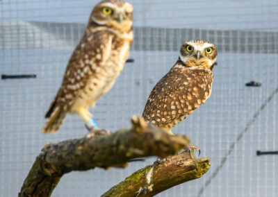 Burrowing Owl-22