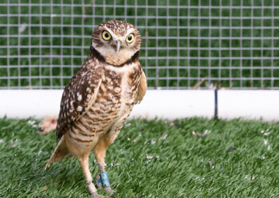 Burrowing Owl-29