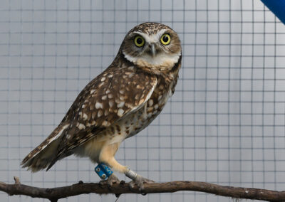Burrowing Owl-7